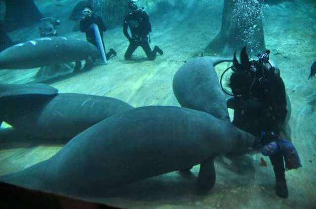 Manatees head to Caribbean in first ever repopulation scheme