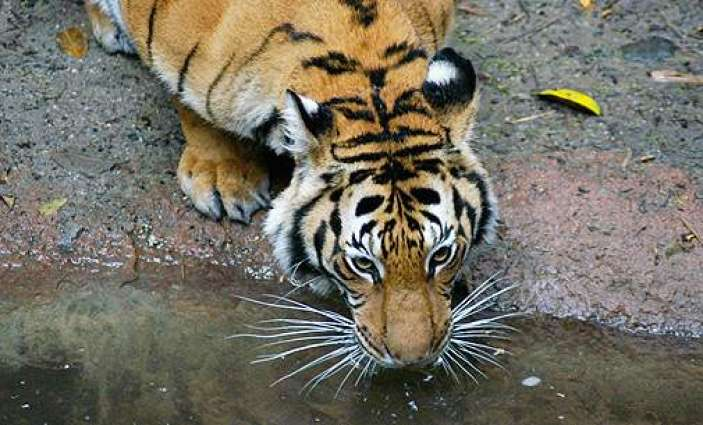 WWF urges closure of all tiger farms