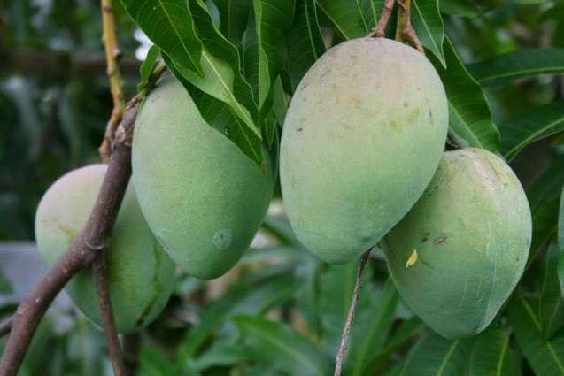 AMRI to follow Spanish model to develop mango pruner locally