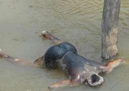 Dead bodies found from Jinnah Barrage Mianwali