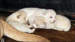 Three young white lions born in the American zoo