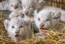 Ukraine:  5 white tiger cubs have been showcased