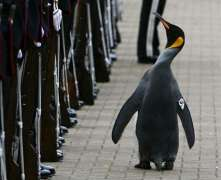 Norway: Penguin became an Army Brigadier in Oslo