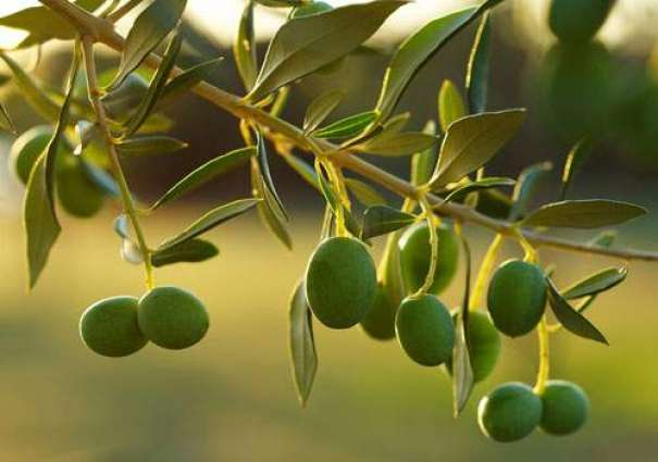 Potohar region ideal for olive cultivation