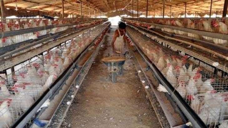 پولٹری دا شعبہ گوشت دی ملکی ضرورتاں دا 40 فیصد حصہ فراہم کریندا پئے