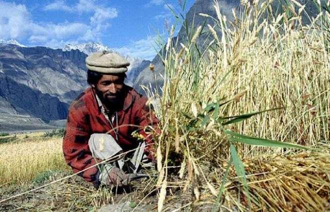 امریکی ادارہ زراعت آکھیا ہے اجوکے سیزن 2016-17 دے دوران پاکستان دی کپاہ دی پیداوار اچ 14 فیصد ودھارا تھیسی