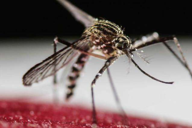 US finds GMO mosquitoes won't harm environment