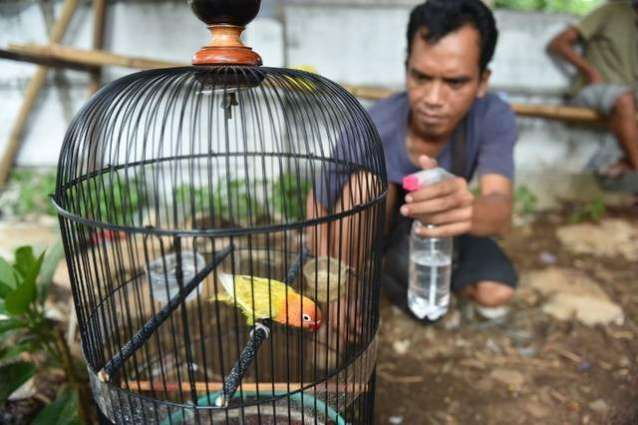 Illegal bird trade threatens Indonesian species: report