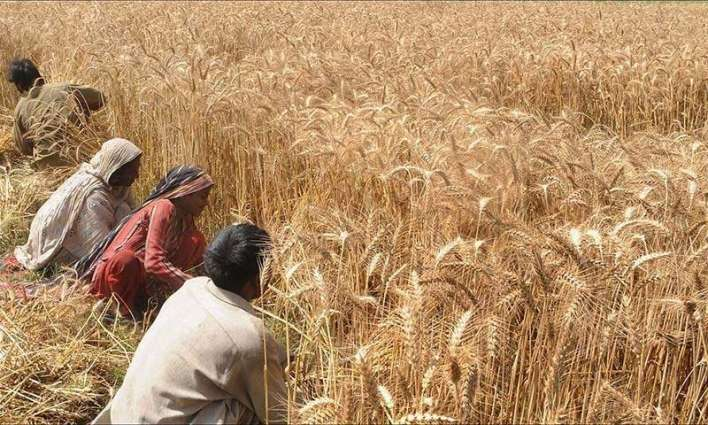 Farmers to get approved variety of wheat seed