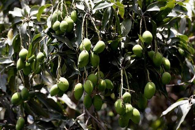 Experts issue guidelines for new mango orchards