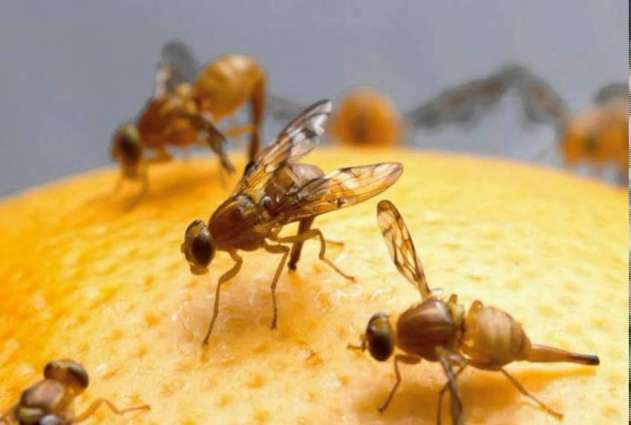 Agriculture dept working to weed out fruit fly