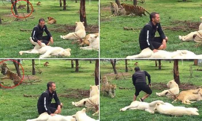 Mexico City: Tiger saved his instructor from a leopard