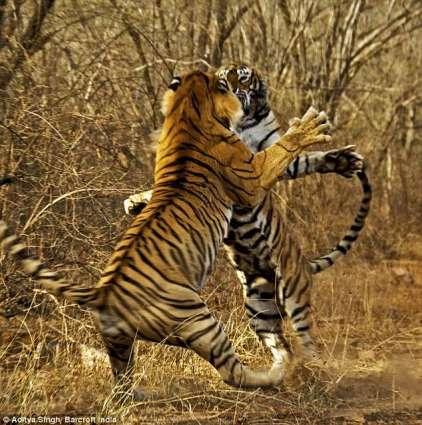 India's beloved tiger Machli dies