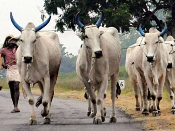 DCO issues directives for imposing ban on all illegal cattle markets