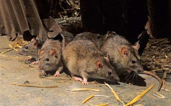 India: Unique contract of killing rats in Lucknow