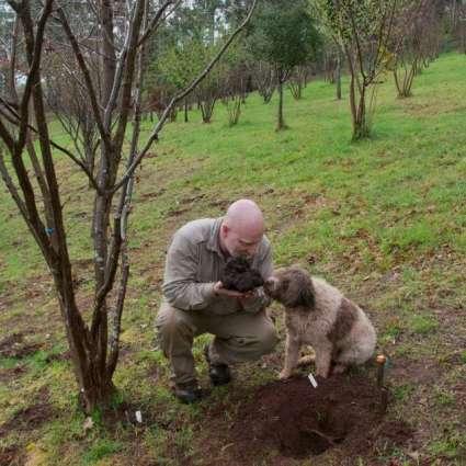 Australian unearths 'beast' of a truffle