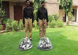 1 arrested for smuggling rare breed pigeons at Lahore airport
