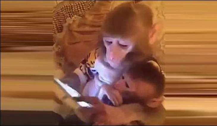 Chinese monkey turned out crazy for mobile phone