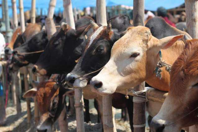 The buy and sell of animals accelerates this super weekend before Edi-ul-Adha