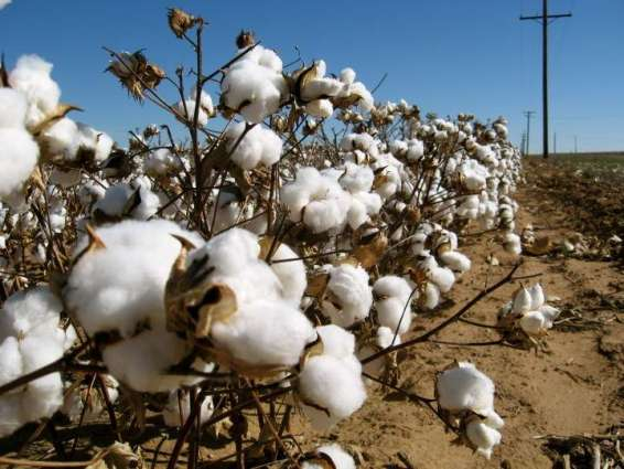 Experts introduce strategies for cotton crop production