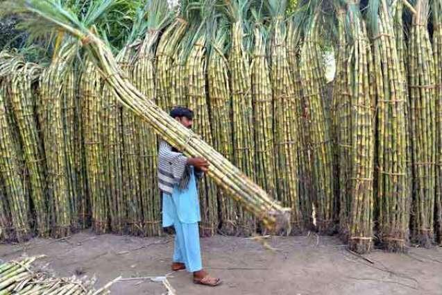 Sugarcane price fixed at Rs 182 per 40kg