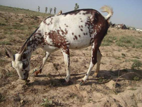 Nagri Beetal goat gets first position in milking contest