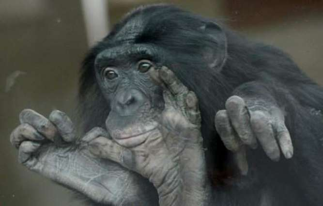 Aging bonobos could use glasses too, study says