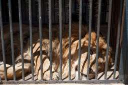 Man killed by lions in Chinese zoo