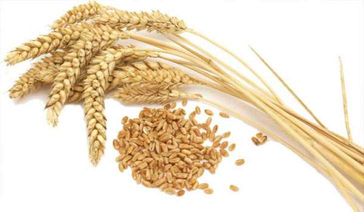 Wheat sowing increases 0.6% in Punjab, 0.2% in Sindh