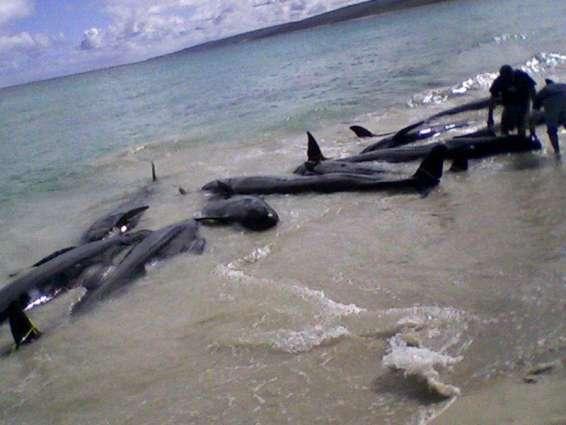 More than 80 false killer whales die off Florida coast