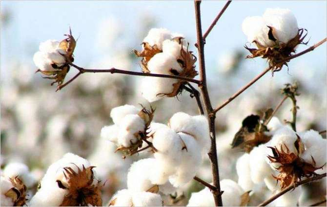 10.5m cotton bales reach ginneries, arrivals up by 11 pc