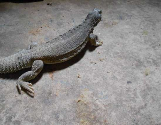 District wildlife department seizes 48 pointed tailed lizards