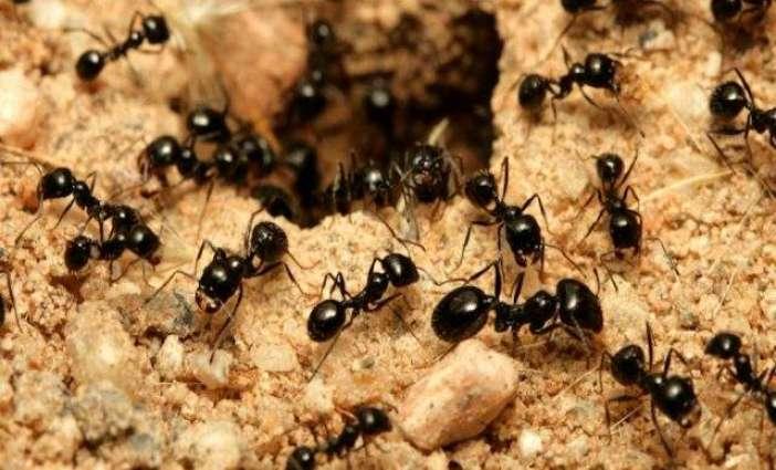 Ants are expert navigators, even walking backwards: scientists