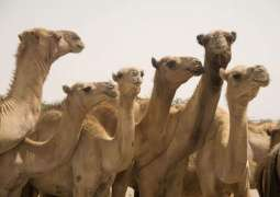 Camel rearers to get Khidmat cards,vaccination of 5,000 camels