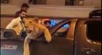کراچی دیاں سڑکاں اُتے پالتو شیر دی سیر: پولیس نے شیر دے مالک نوں گرفتار کر لیا