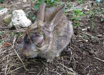 Rabbit virus can kill cancer cells: Study