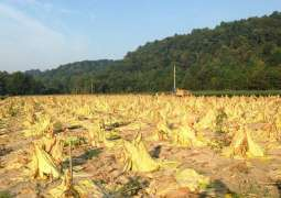System developed to improve tobacco crop area