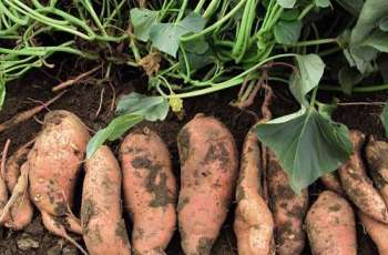 Potato should be cultivated in October: agri experts
