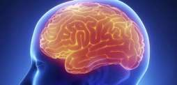 Genetic links found to size of brain structures: Study