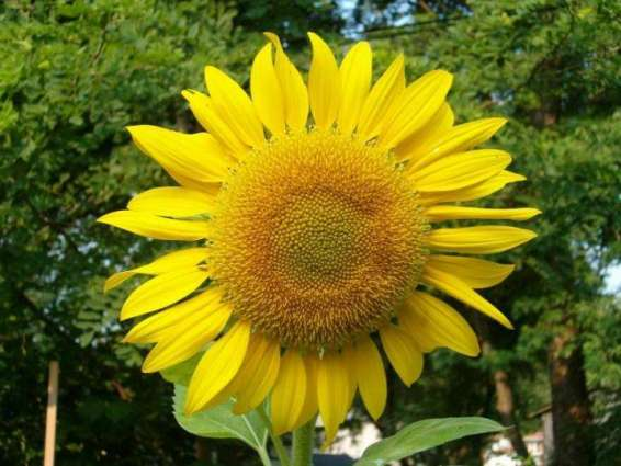 Subsidy for sunflower cultivation