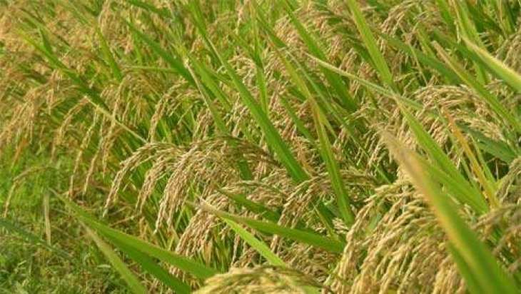 Rice growers, millers urged to promote sustainable production