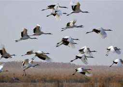 Beijing enhances protection for rare birds