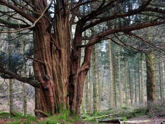 پوری دنیا اچ درختاں دیاں 60 ہزار قسماں موجود،ہکی قسم دے صرف ڈاہ درخت موجود ہیں