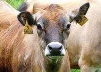 Scientists identify genes determining cattle height: Australian study