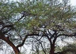Cholistan to have 70,000 new kikar trees