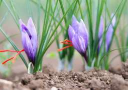 Agriculturists promoting saffron farming in FATA as substitute to growing opium