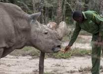 Last male northern white rhino dies in Kenya: keepers