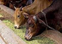 31 widows get animals in Khanewal