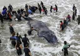 Beached whale dies despite rescue efforts at Argentina resort