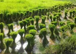Paddy nursery not to be cultivated before May 20